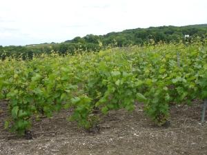 adult vines